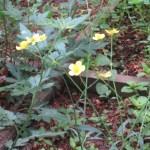 キンポウゲ 花の様子