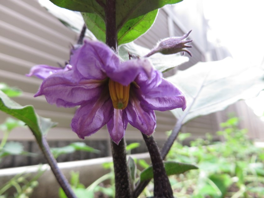 Eggplant/ ナス
