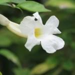 コダチヤハズカズラ  白花 花のアップ
