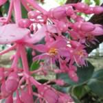 オオバノヤドリノボタン 花の姿