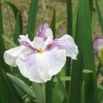 ハナショウブ 白系の花 アップ