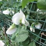 エンドウ 花のアップ 白花