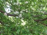 ハイノキ 花の咲いている様子