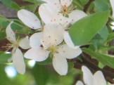 ハイノキ 花のアップ