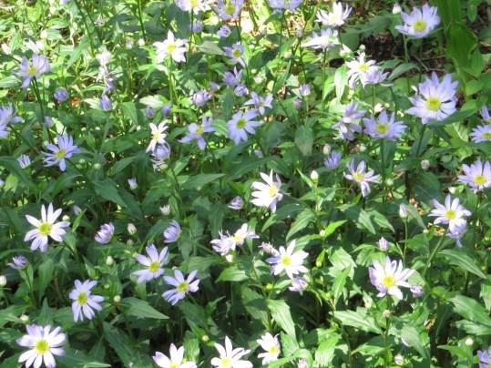 ミヤコワスレ  群れて咲く花