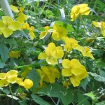 ヤマブキソウ 花の咲いている様子