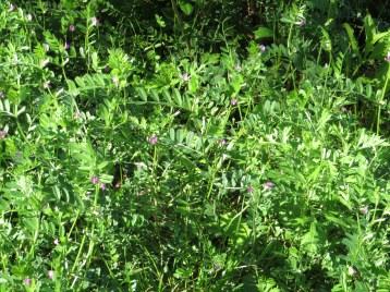 カラスノエンドウ 花の咲いている様子