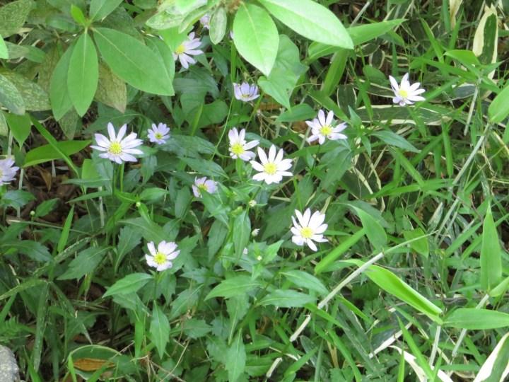 ミヤコワスレ 花の群落