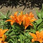 スカシユリ 典型的なオレンジ色の花