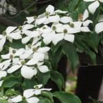 ヤマボウシ 花の様子