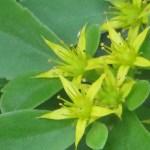 キリンソウ 花のアップ