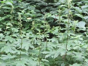 Parasenecio delphiniifolius/ モミジガサ