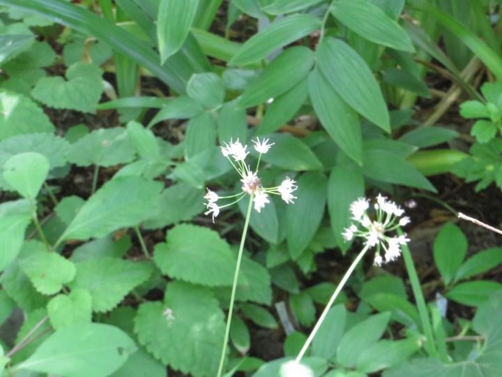 ノビル 花の姿
