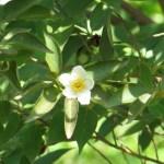 ヒメシャラ 花の姿