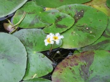 ガガブタ 花と葉の姿