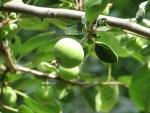 Chinese pearleaf crabapple/ ワリンゴ