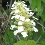 カシワバアジサイ 咲き始めの花