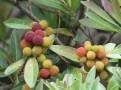 ヤマモモ さまざまな色の実