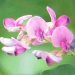 ハギ(ツクシハギ?) 花のアップ