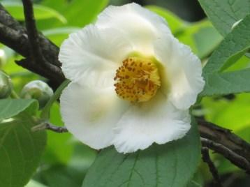 ナツツバキ 花のアップ