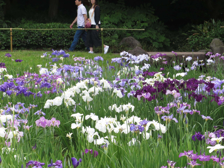 ハナショウブ 皇居東庭園のハナショウブ