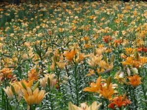 スカシユリ 一面の花