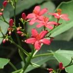 テイキンザクラ(ナンヨウザクラ) 花の姿
