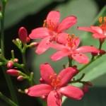 テイキンザクラ(ナンヨウザクラ) 花のアップ