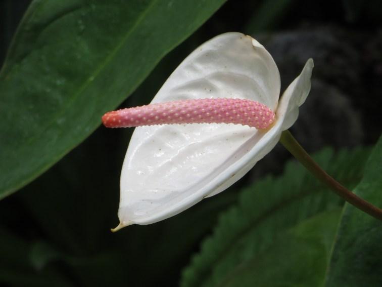 アンスリウム 白い花