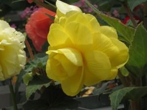 キュウコンベゴニア 美しい黄色の花