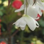 キュウコンベゴニア 白の釣り下がり花