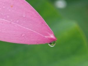 ハス 大賀蓮(古代蓮) 花びらと雨