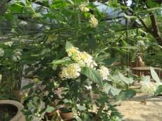 ランタナ 白色の花