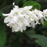 ウツギ(サラサウツギ) 花の様子 アップ