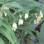 ナルコユリ 花の姿