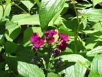 Japanese primrose/ クリンソウ