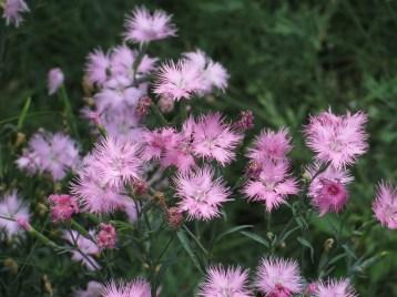 ナデシコ カワラナデシコ花の様子