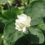 サンユウカ (ヤエサンユウカ)花の様子