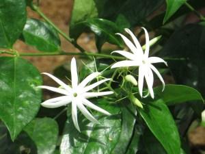 オオシロソケイ 花の様子