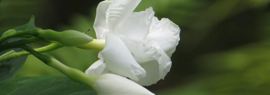 Crape Jasmine/ サンユウカ'(ヤエサンユウカ)