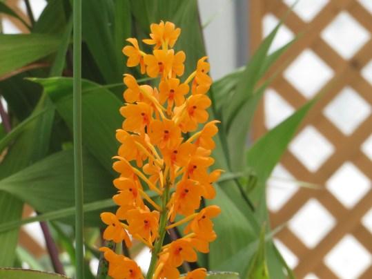アスコセントラム Ascocentrum garayi 花のアップ