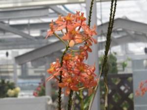 エピデンドラム Epidendrum Kashyoku Saisai 花のアップ