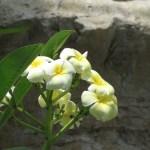 プルメリア 花のアップ (黄色・白系)