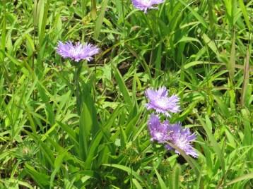 ストケシア 花の咲いている様子