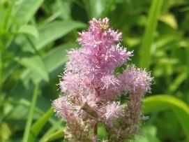 アスチルベ 花のアップ