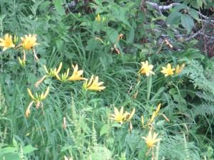 ゼンテイカ ニッコウキスゲ 花の様子