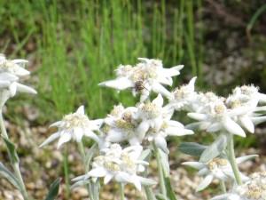 ウスユキソウ 花の姿