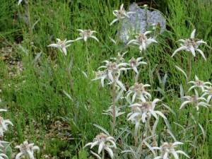 ハヤチネウスユキソウ 花の様子