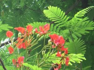 ホウオウボク  樹上の花の姿