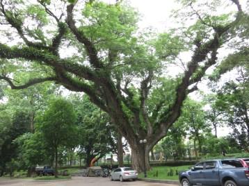 モンキーポッド 立派な木の様子